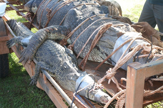 Crocodilo gigante Australia - Img 3