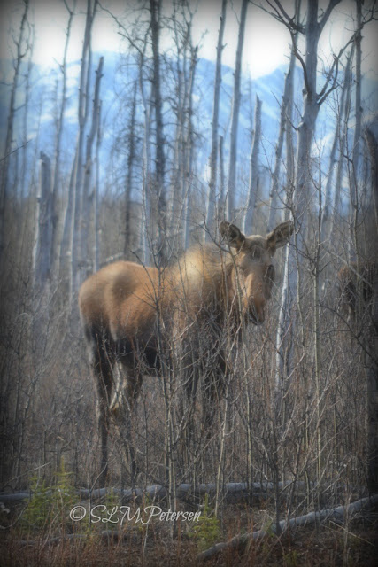 Stacy Petersen Photography - Moose Through the Trees