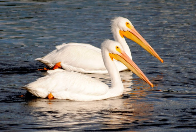 "White Pelicans in Placida, Florida.  The ""Snowbirds"" return."