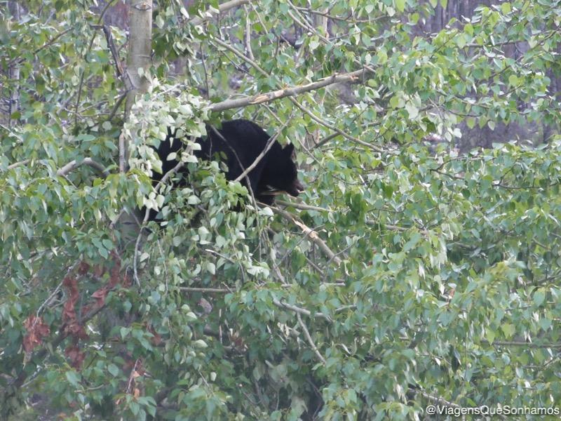 Urso em uma árvore em Jasper