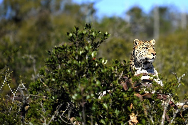 Key S. African leopard population 'crashing', study warns