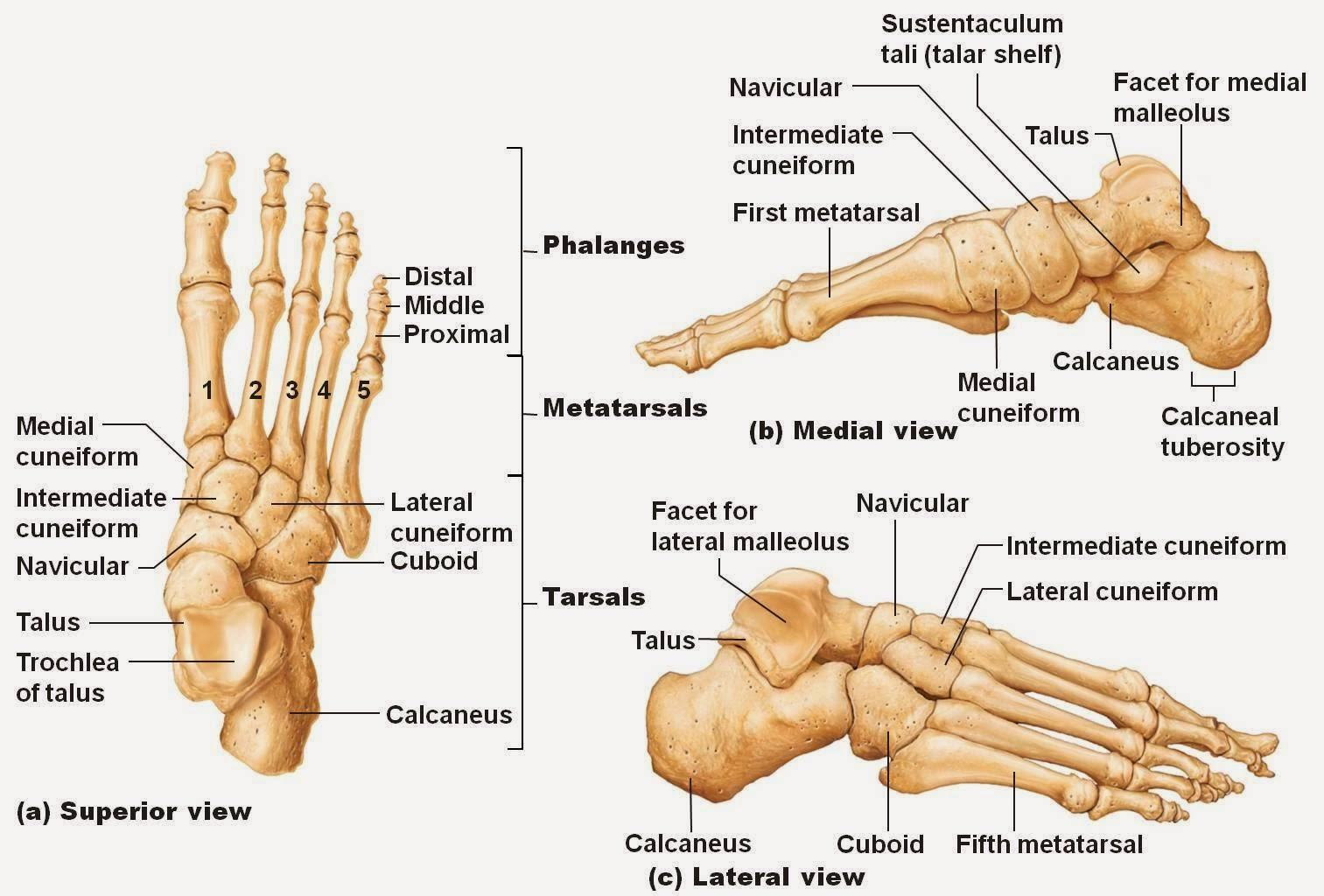 left foot bone diagram - photo #2