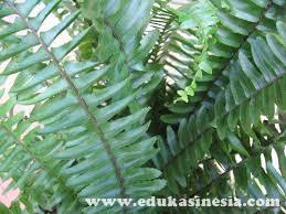 Materi Tumbuhan Paku, Struktur Tumbuhan Paku, Perkembangbiakan Tumbuhan Paku, dan Peranan Tumbuhan Paku dalam Kehidupan Beserta Penjelasannya Terlengkap