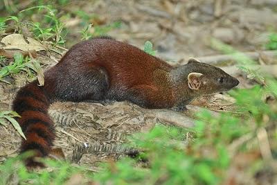Malgasy Ring tailed Mongoose
