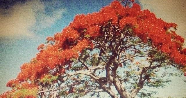 Rbol de fuego por alfredo espino realidades el for Arbol de fuego jardin