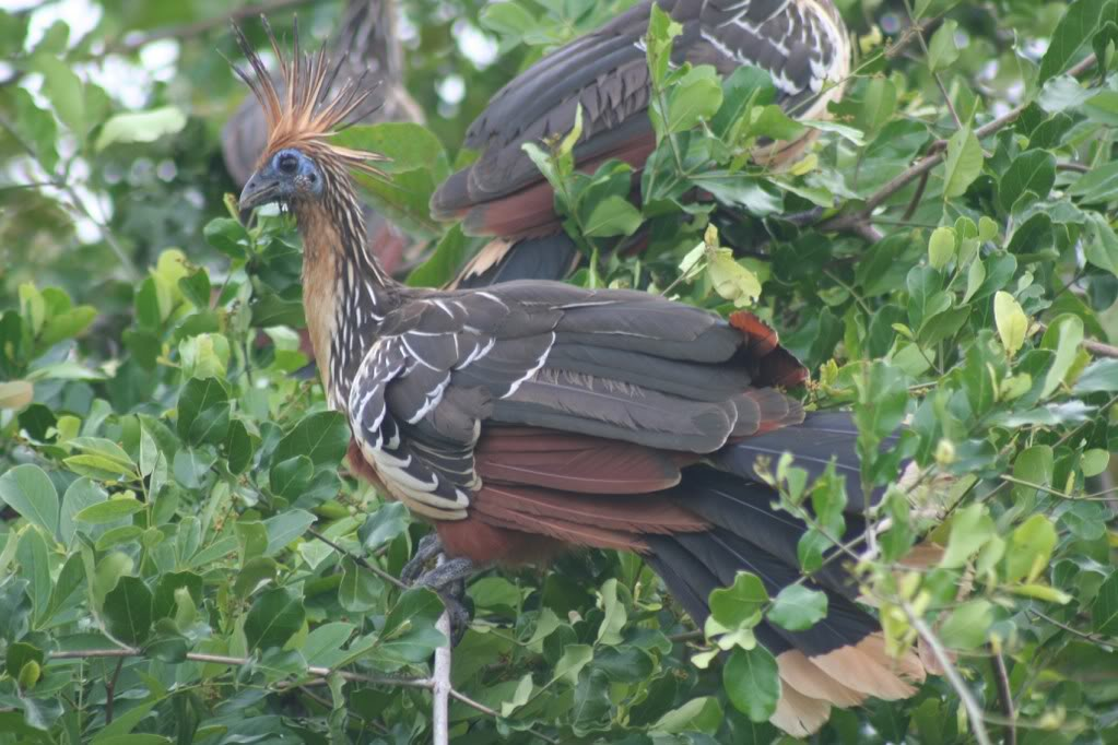 Picture of a Hoatzin bird on a tree.