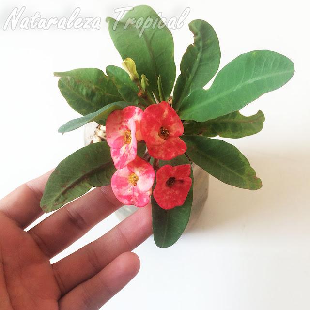Planta floreciendo con pequeño tamaño por las óptimas condiciones climáticas, nutricionales y estado de salud. Euphorbia milii