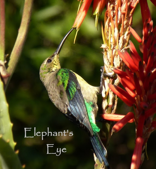 Malachite Sunbird, male on Aloe