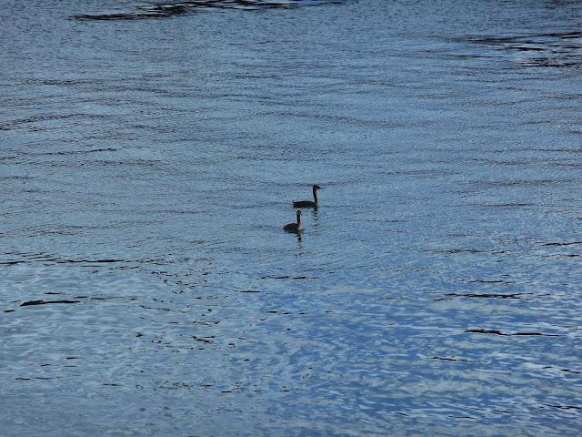 Dos aves nadando en el mar