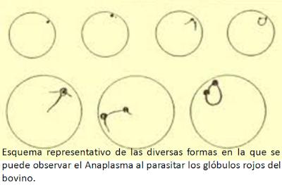 Dibujo de anaplasmosis parasitando a un globulo rojo