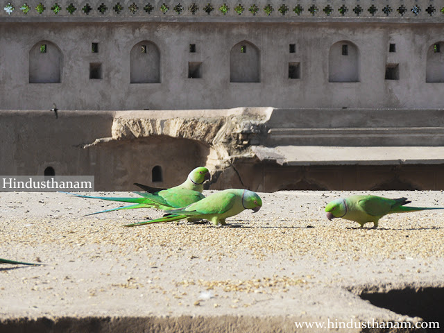Parrots at Chand Baori Abhaneri Dausa