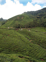Boh Tea planation, Cameron Highlands