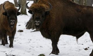 Bisonte europeo, Polonia, Medio ambiente, Bialowieza