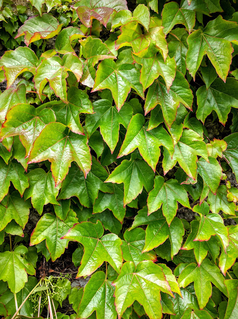Close up of ivy on the walls of Maynooth University