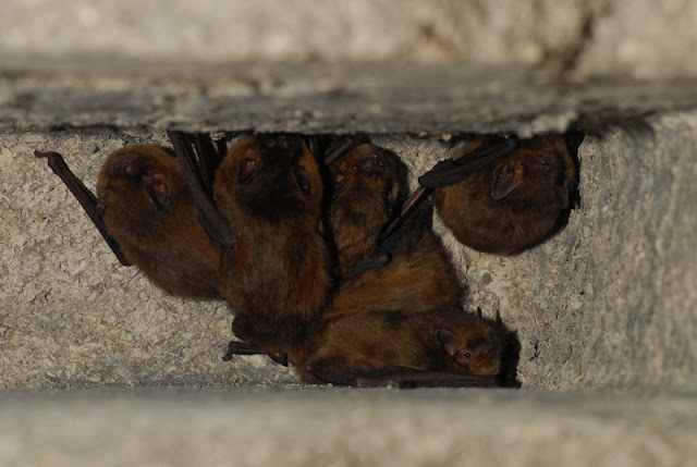 Soprano Pipistrelle bats in their bat box as Arundel