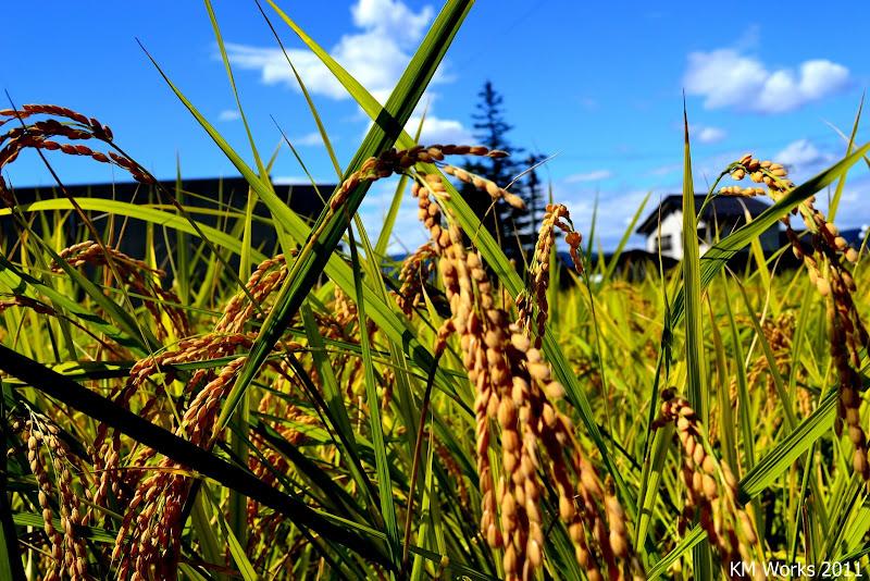 沖縄はタイ米が安い? | 2017-01-10 の日々雑感