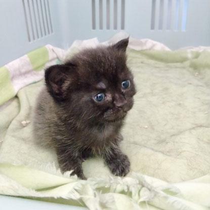 Grey kitten Apricot