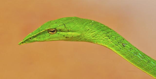 أغرب أنواع الثعابين في العالم