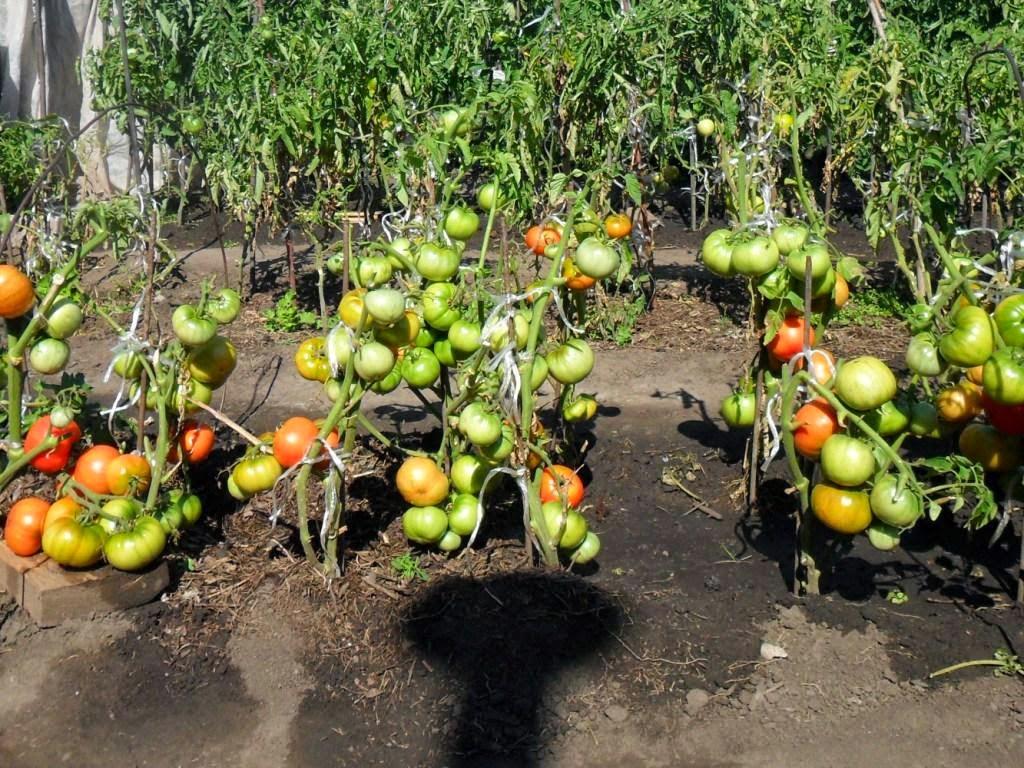 Детерминантные помидоры в открытом грунте