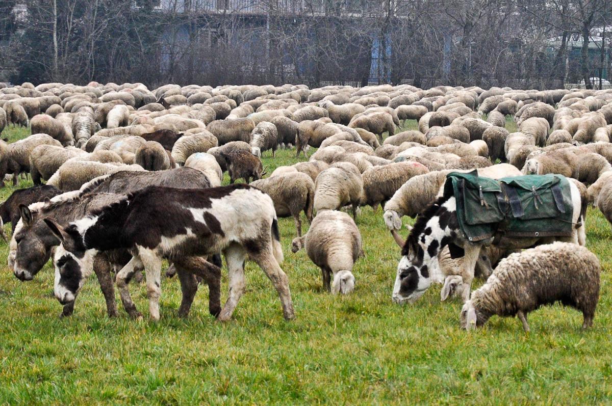 Grazing sheep and donkeys, Rettorgole, Vicenza, Veneto, Italy