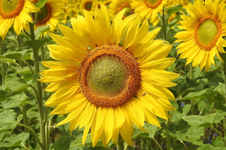sunflower-blossom-bloom-yellow