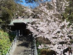 甘縄神明神社の玉縄桜