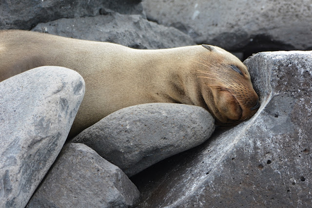 Sleeping sea lions Galapagos