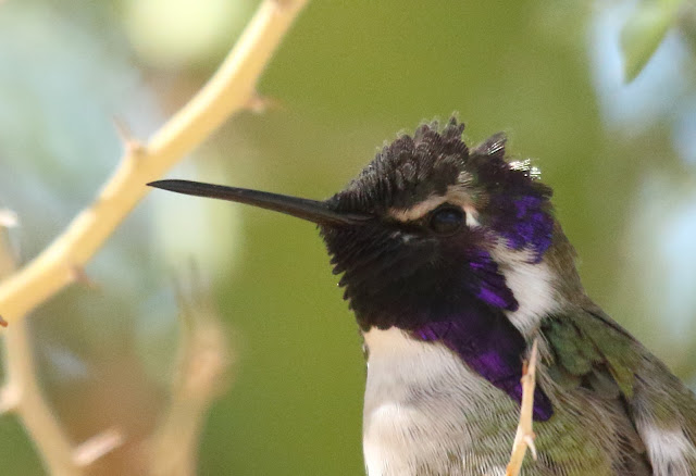 Costa's Hummingbird portrait