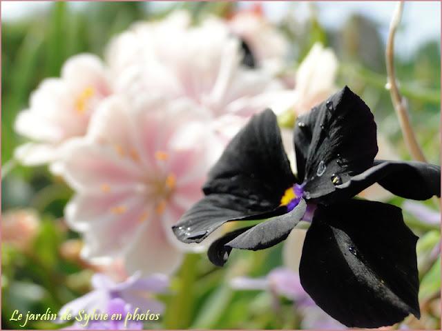 "Violette noire - Viola ""Molly Sanderson"""