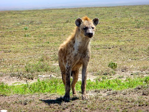 Why Hyenas Have Hind Legs Shorter Than Their Front African Folktale photo by danheap77