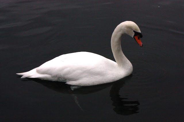 Picture of a swan looking into the lake for food.