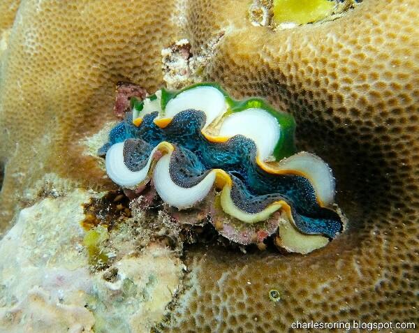 Burrowing clam in reef rock