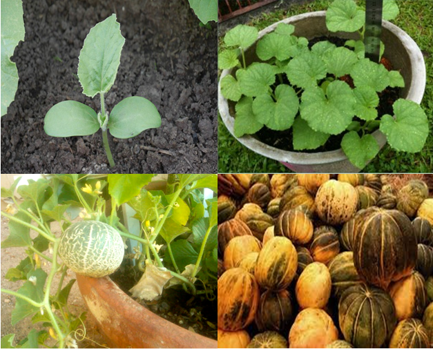 Independent Agriculture How To Grow Cantaloupe From Seed In Containers Legend has it that cantaloupe seed was brought to america on one of christopher. grow cantaloupe from seed in containers