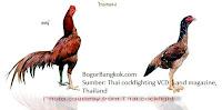 Ayam Jago Jenis Ayam Bangkok Thailand