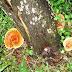 Ganoderma Lucidum The Wonder Herb