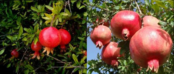 buah delima yang masih di pohon