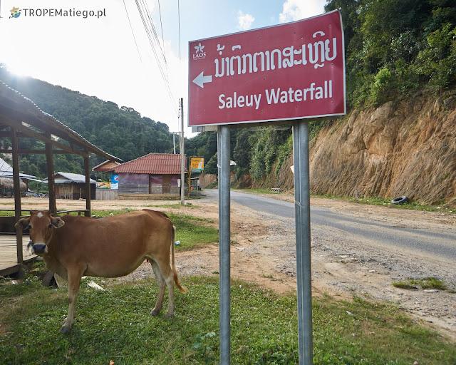 Krowa z wodospadu Saleuy