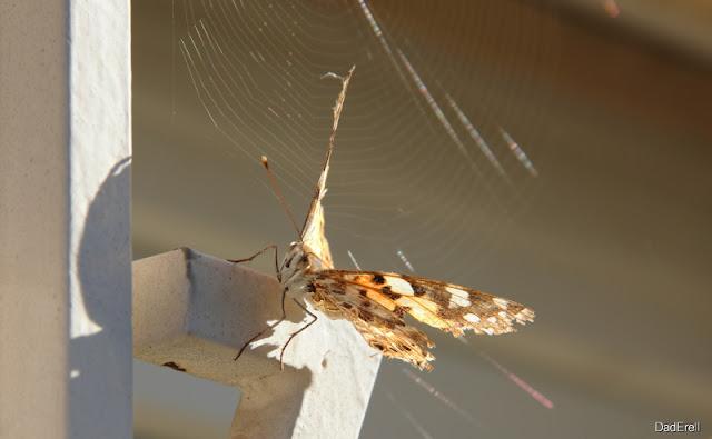 Papillon devant une toile d'araignée