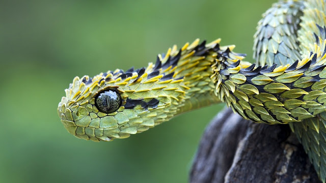 Atheris Hispsida