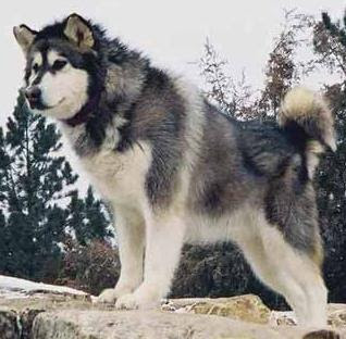 razas de perros grandes alaska malamute