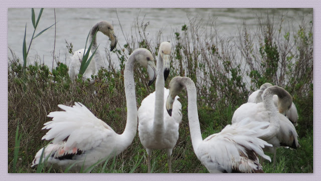 Juvenile Camargue Flamingos in France