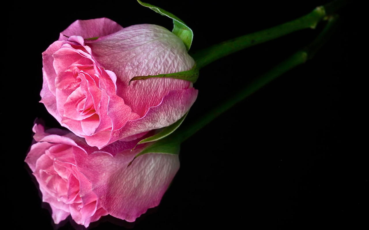 Pink Roses Wallpapers | Hd Desktop Wallpaper