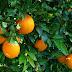 Πορτοκάλια Πελοποννήσου: Οι εξαγωγές έφεραν χαμόγελα
