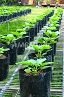 usaha kecil,usaha kecil kecilan,pertanian,budidaya tanaman,lmga agro