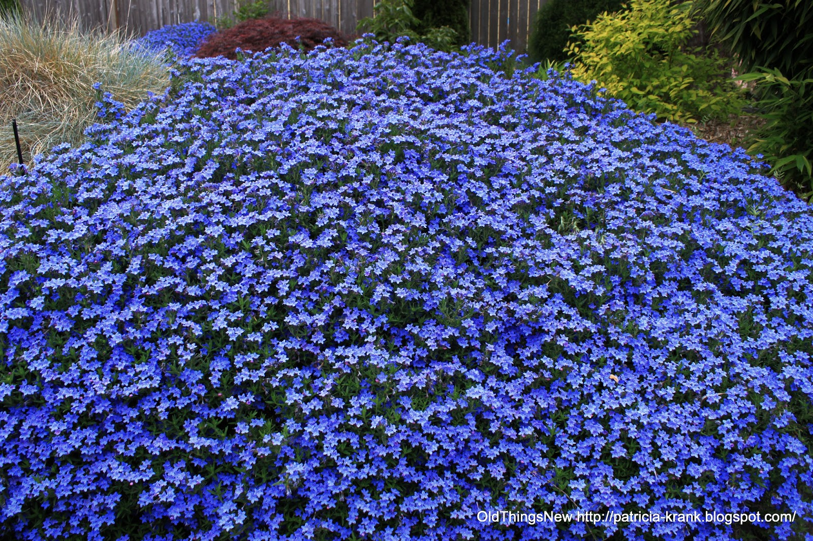 Ground Cover With Blue Flowers In Spring O2 Pilates