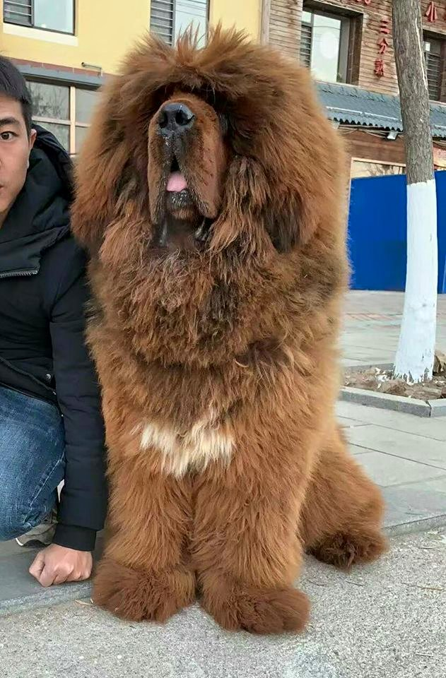 Tibetan Mastiff - The Best Biggest Expensive Dog Breed in