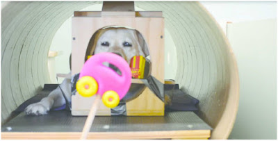 A Golden Retriever being shown a stimulus in the fMRI study