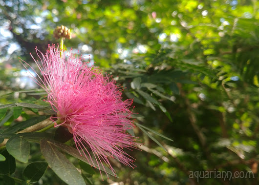 Pink Flower Photo: Powder-Puff-Tree at Longwood Gardens