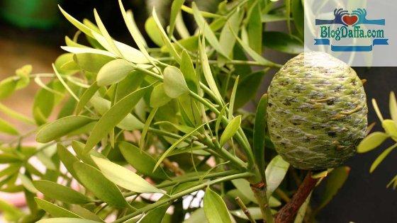 Pohon damar adalah tumbuhan langka di Indonesia