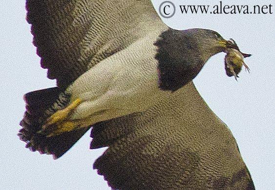 Aguila Mora, Ave rapáz de la Patagonia